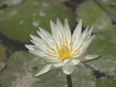 20 WHITE WATER LILY SEEDS Nymphaea Ampla (Dotleaf)- Lotus (Aquatic Plant) Pure for sale  Shipping to India