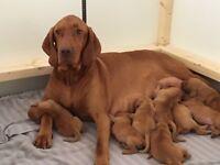 KC Registered Hungarian Vizsla Pups for sale