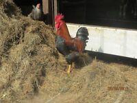 Welsummer Rooster