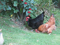 2 chickens/hens for sale - £10