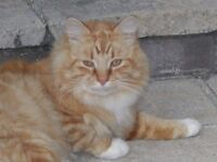 Two beautiful ginger cats need re-homing