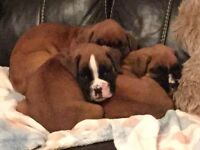 Red & White Boxer Puppies