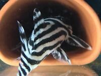 L046 Zebra Pleco's X 3 Tropical Fish