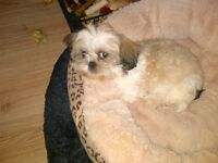 Female Shih-Tzu for sale.