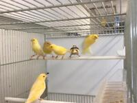 Beautiful canaries for sale .