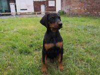 Beautiful dobermann puppies for sale