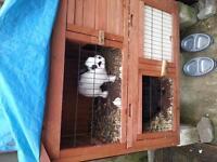 free 2 rabbits including hutch