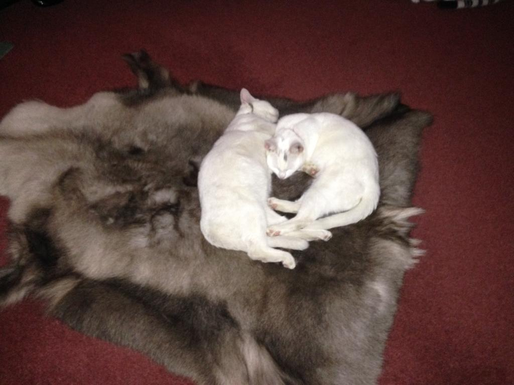 2 Russian white cats free to good home