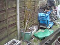 LARGE WILLOW PLANTS ABOUT TO SPROUT 2 YEARS OLD 7FT APPOX