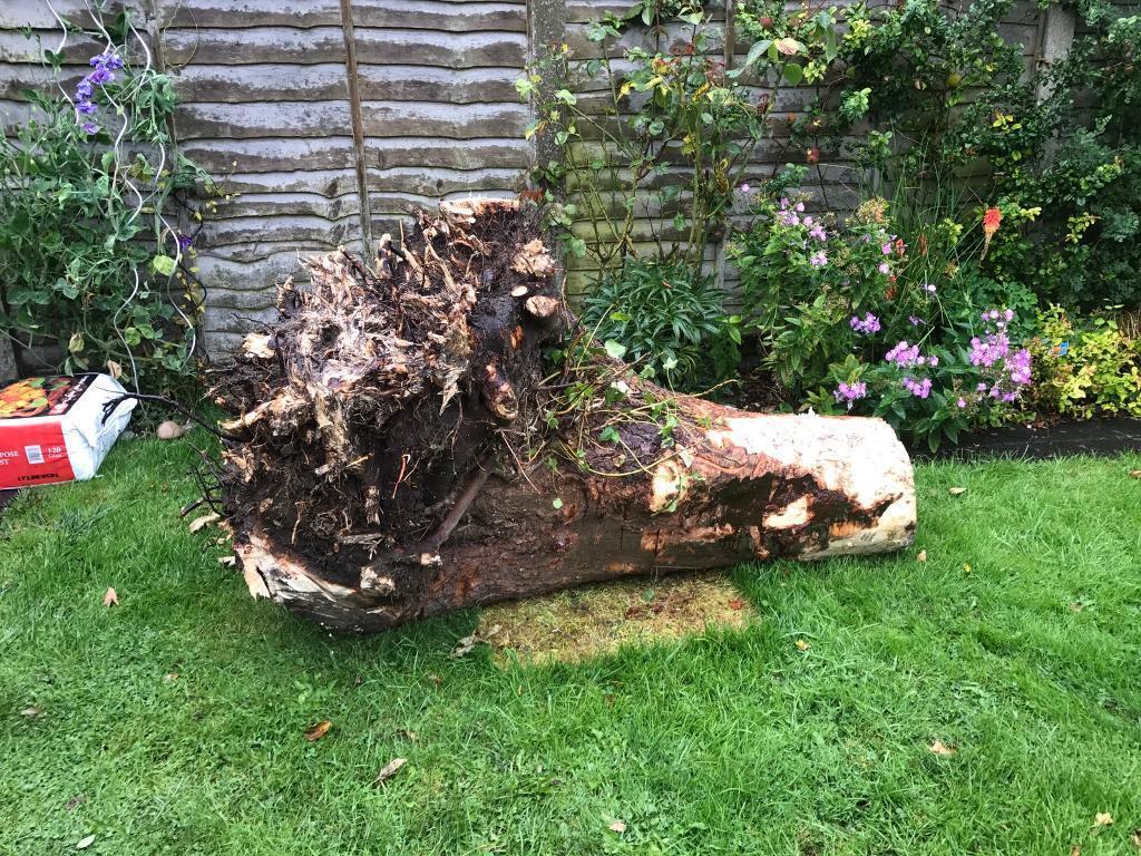Tree stump Sycamore free