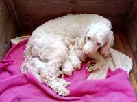 3 Cockerpoo Puppies