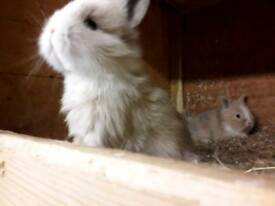 Beautiful baby dwarf lionhead and dwarf lionlop rabbits .