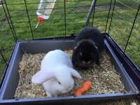 2 x mini lops boy and girl 3 months old
