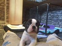 Boston terriers puppies for sale. Only 2 puppies left!!!