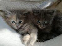 Amazing Maine Coon x Ragdoll kittens