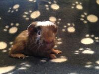 Friendly guinea pigs for sale