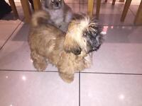 Shihtzu pedigree puppies full kc registered