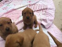 Fox red labrador puppies