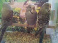 Five exhibition baby budgies