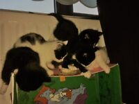 Kittens, 8 Weeks old, Very playful, friendly and loving Litter trained.