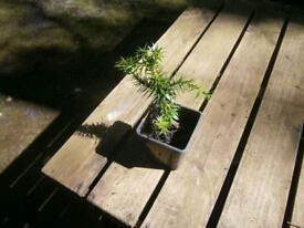 MONKEY PUZZLE TREE GARDEN /PATIO POTTED PLANT