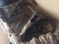 4 ft Royal python with full setup