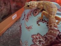12 month old female rescue gecko needs a good home.