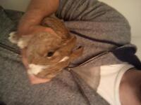 Baby Bunny and cage! Netherland Lop. Great with kids!