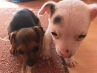 Chichua cross yorkie pups