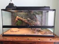 Bearded Dragon with Vivarium and accessories