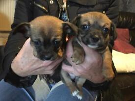 Chihauhau pups, 8 weeks old ready to leave , two boys