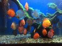 discus tropical fish aquarium tank fish