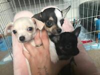Exclusive Very Tiny Chihuahua Pups...will stay Tiny