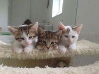 Bengal cross BSH Kittens
