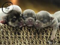 1st Generation PomChi Puppies