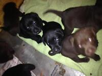 Chocolate and black labs for sale