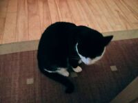 Missing Cat - Andersonstown