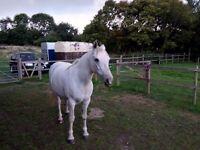 Grey Connemara pony for sale