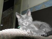 3/4 russian blue 1/4 white tabby kittens