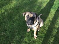 7 month old Bullmastiff looking for a good home
