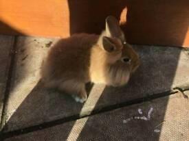 Male baby rabbit