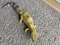 Gorgeous Geko Lizard for sale with immaculate vivarium and various accessories