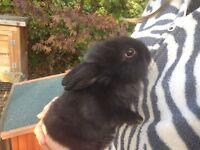 Black baby bunnies for sale