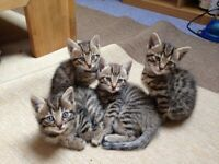 Bengal cross tabby kittens for sale