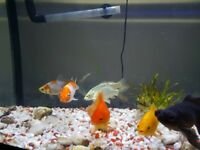 Fish , Koi Carps for sale