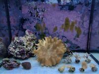 Coral frag marine tank - mushrooms, ricordias, leather fingers