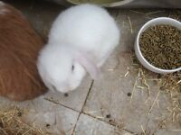 Baby mini lop boy