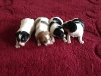 Shih tzu X Jack Russell pups for sale