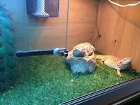 2 Bearded Dragons Plus Tank and Accessories.