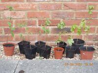 Tree Saplings - Hazelnut & Acer Tree Plant
